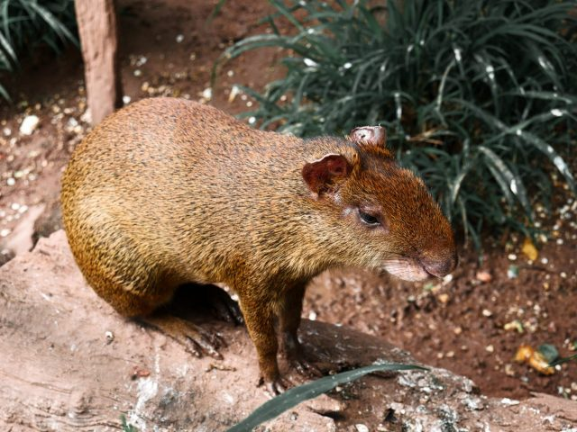 An agouti of sorts poses on a log