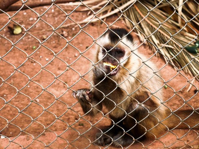 Bananas are a capuchin favorite at the refuge