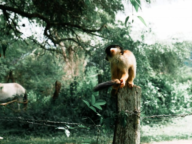 One of the many free-roaming squirrel monkeys at the refuge