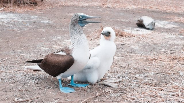 A baby booby and his dad