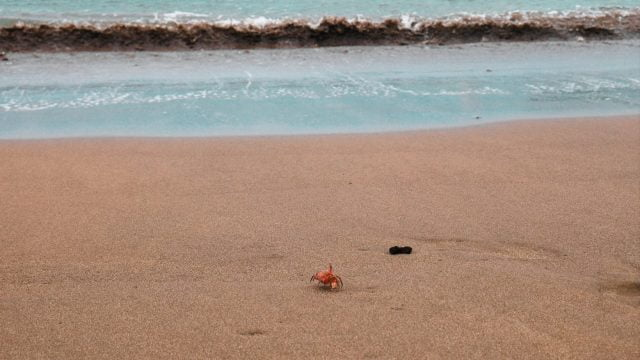A red crab on the shores of Bahía Drake