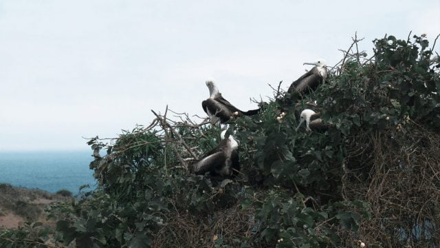 Frigate birds hanging out in a tree