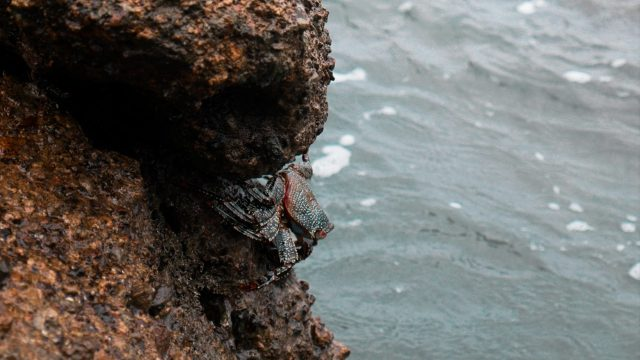 Shy crabs hang out on the rocks above and below the water