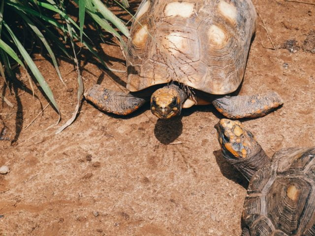 Two friendly tortoises at the biological park