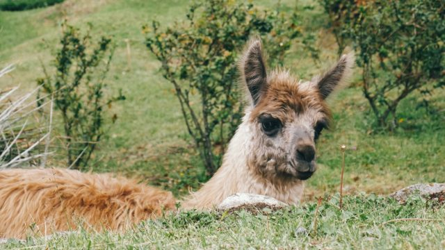 The cutest little alpaca wandering around the gardens