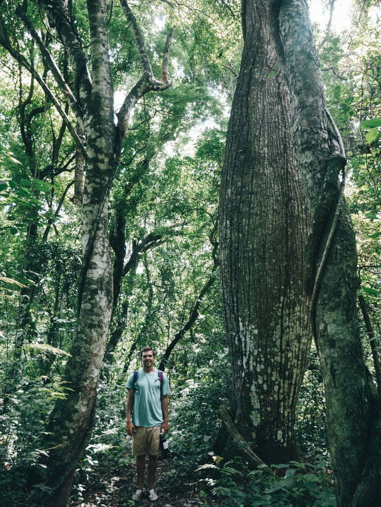 Walking among giant trees in the dense jungle
