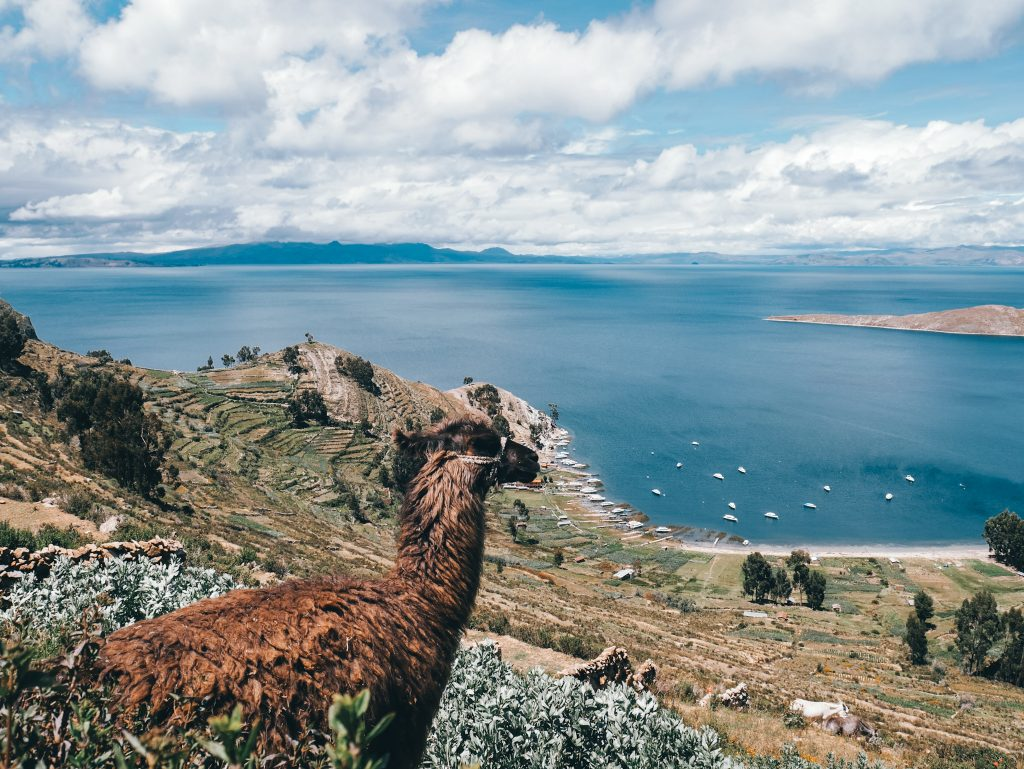 Not a bad place to be a llama we think
