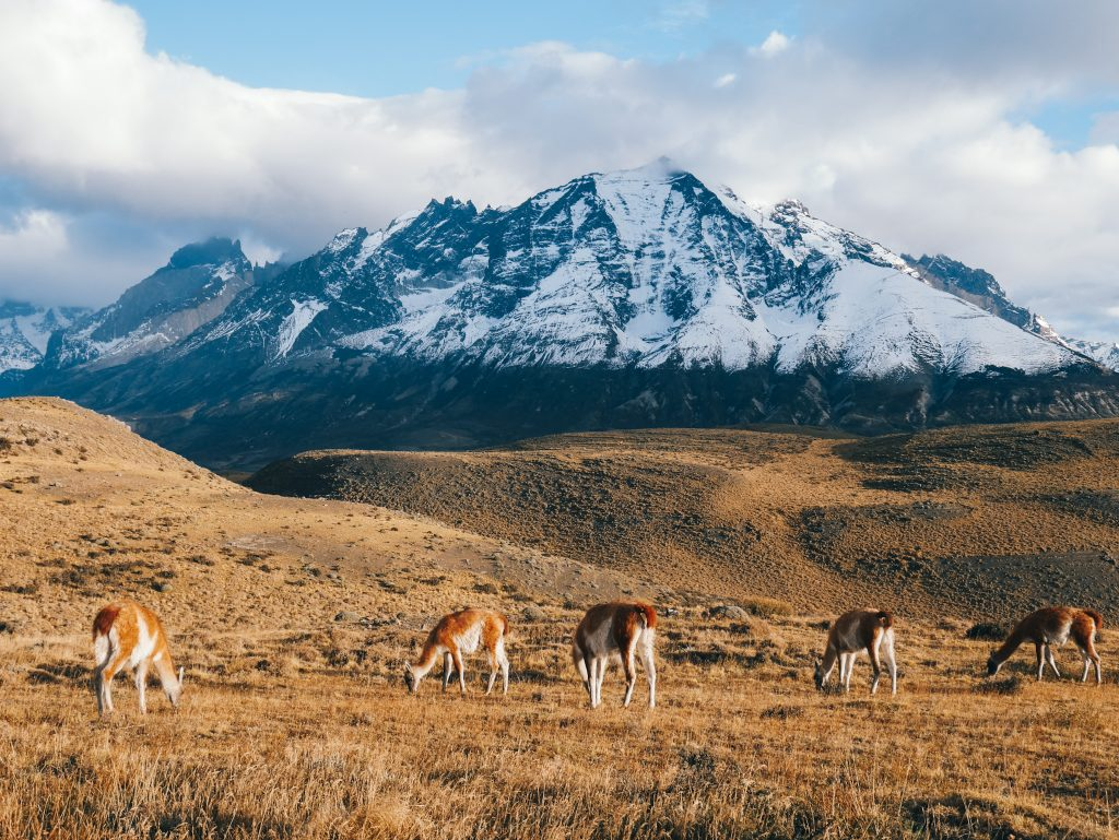 Guanacos grazing in the valley